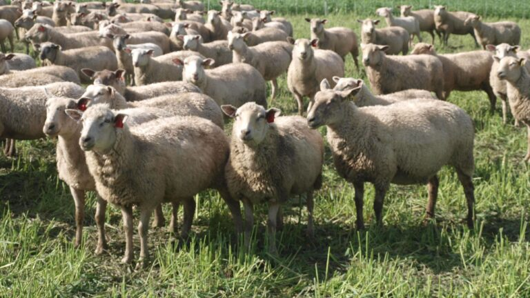 Testing Huron County Arcott wool